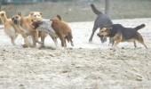 O tanara din Timisoara, atacata de o haita de caini in fata Universitatii de Vest