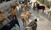 Eutanasierea cainilor maidanezi ar putea incepe saptamana viitoare, informeaza Primaria Timisoara
