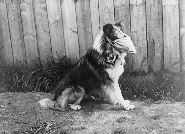 Caine care poarta o masca de gaze si ochelari de protectie anti-gaz, Roesbrugge, Belgia – 05.16.1916