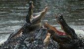 INCREDIBIL: Un barbat suspectat de jaf, mancat de aligatori in timp ce incerca sa se ascunda de politie
