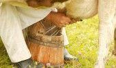 DESCOPERIRE SOCANTA facuta de Ministerul Sanatatii: Angajatii unei ferme din Dolj au INFESTAT laptele care era comercial…