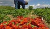 """Spaniolii cauta din nou """"CAPSUNARI"""". Fermierii angajeaza 800 de ROMANI. CE SALAR…"""