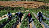 MAREA BRITANIE: ROMANII care lucreaza in AGRICULTURA si-ar putea pierde locul de…