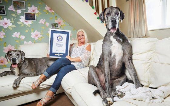 Să facem cunoștință Freddy, cel mai mare câine din lume! În 2 picioare are 2,24 m! Video