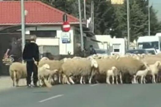 Gigi Becali și-a scos oile la plimbare și a blocat traficul în Pipera! Video