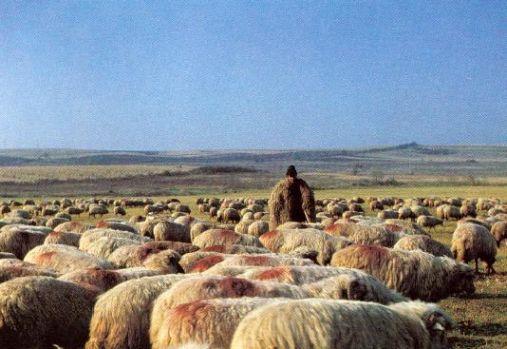 Sălaj: Peste două sute de oi au fost omorâte de o haită de lupi