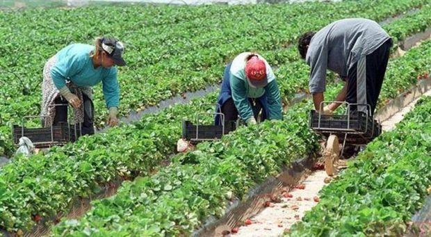 Fermierii din Marea Britanie sunt nenorociți! Li se strică producția pentru că românii nu se mai duc să muncească