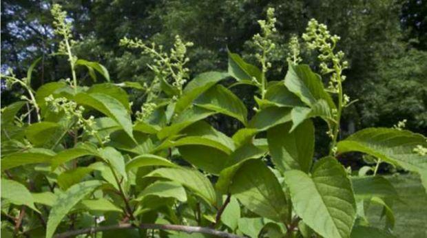 Planta care tratează cancerul în 40 de zile! Secretul păstrat cu sfinţenie de chinezi sute de ani