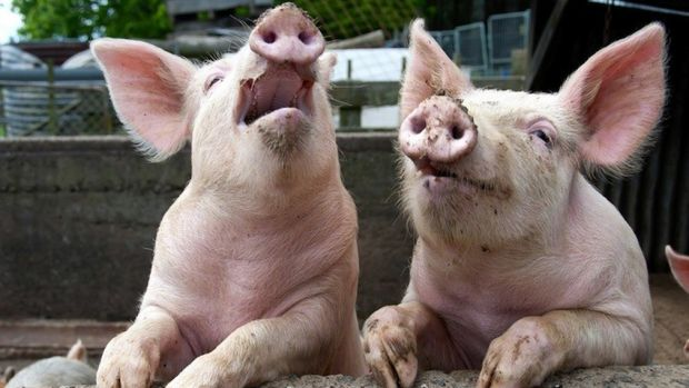 Pesta porcină. Viorica Dăncilă a solicitat ajutorul Comisiei Europene