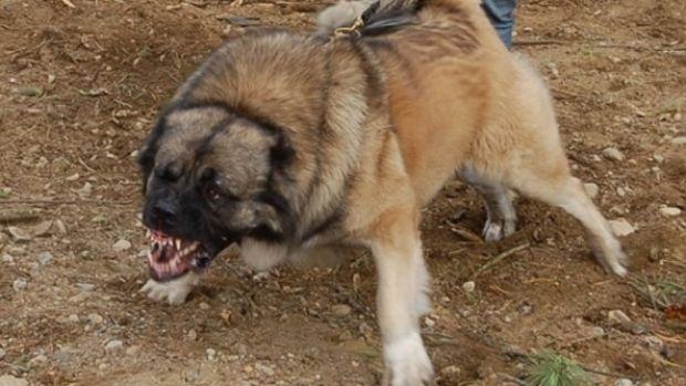 Ăsta de tupeu! Un câine sare la doi lei, îi atacă, îi latră apoi pleacă victorios! Video