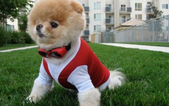 boo a murit, catel, pomeranian, probleme cardiace, boo, catel dragut