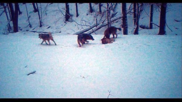 Haită de lupi, filmată când se joacă în zăpadă! Video inedit