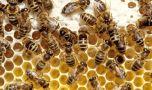 Cum arată cea mai mare albină de pe fața Pământului! Este uriașă față d…