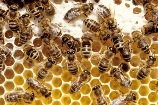 Cum arată cea mai mare albină de pe fața Pământului! Este uriașă față de cele obișnuite! Foto în articol