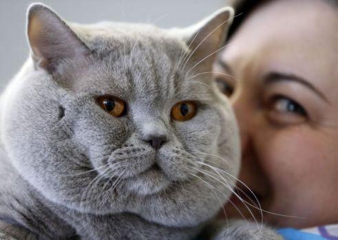 Această pisică este socotită drept cea mai veche rasă din lume!