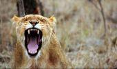 O leoaică atacă un elefant în căutarea unei mese pentru puii ei! Video
