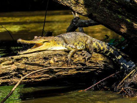 O nouă specie de crocodil, descoperită de oamenii de știință