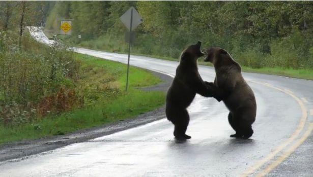 Doi urși se bat în mijlocul străzii! Video viral