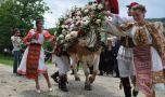Românii au propria coridă. Ce înseamnă înstruțatul boului?