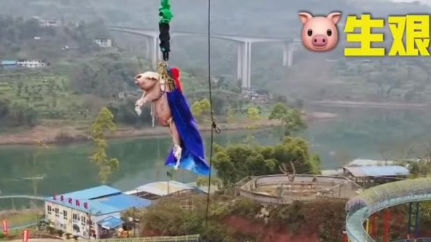 China. Un porc a fost obligat să facă bungee jumping la un parc tematic! Video