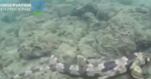 australia, video, rechin, specie noua, rechin care merge,